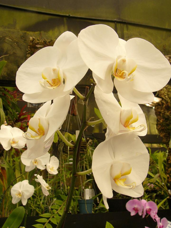 20070309_2596 Orchids