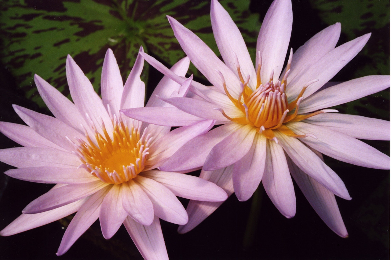 20070312_23_Water Lilies