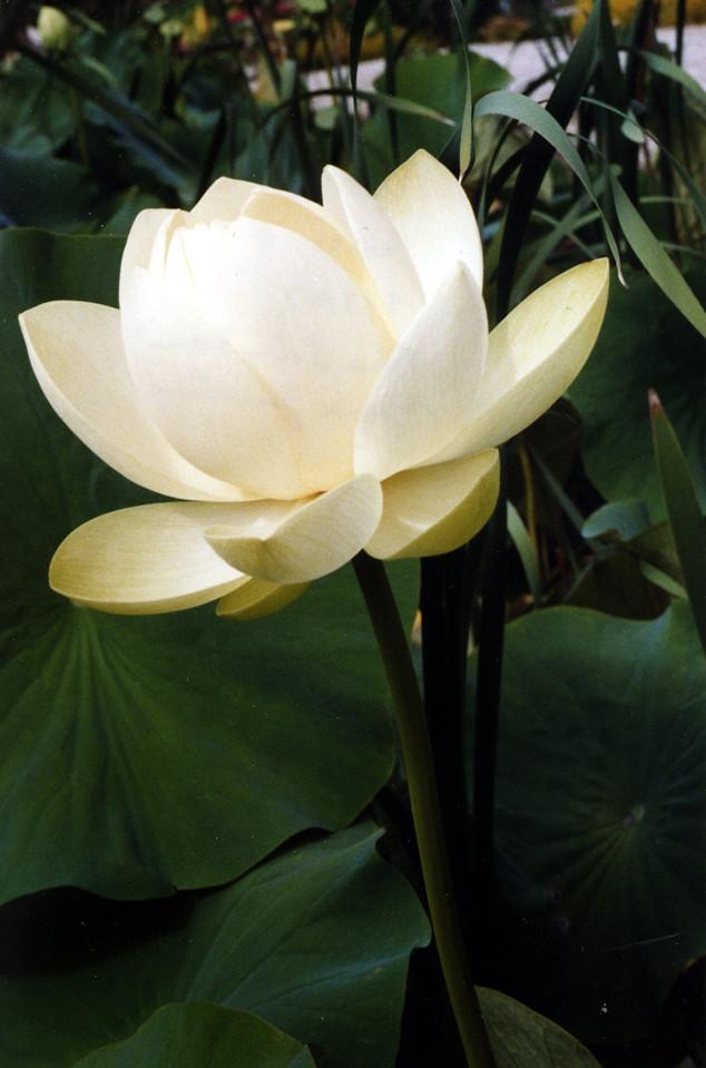 20070312_23_Lotus Blue Lotus Water Garden and Farm