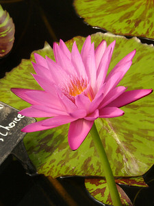 20070312_2672 Eddies Choice water lily
