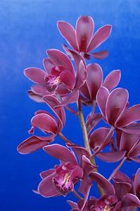 20070729_0008 Cymbidium orchid