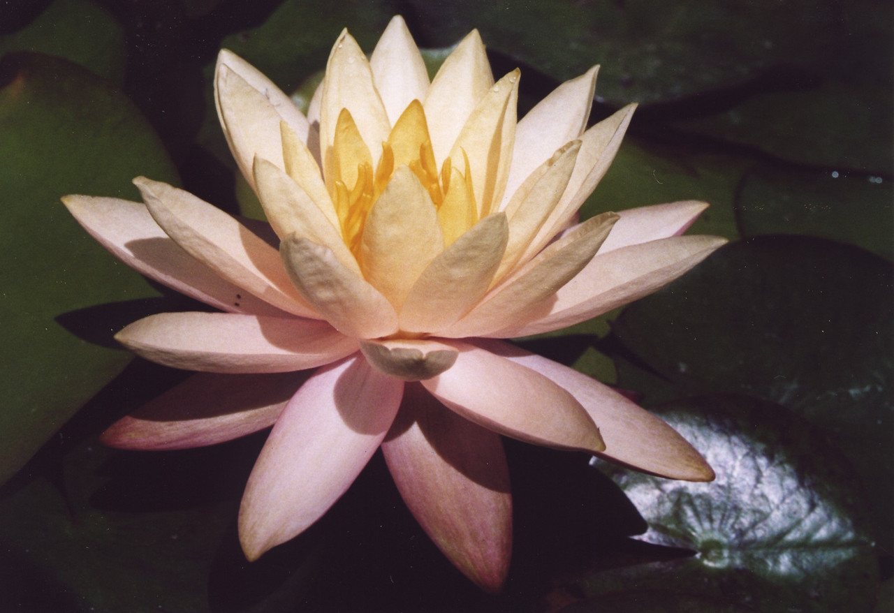 20070312_18_Water Lily