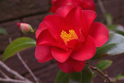 20070804_0047 Camellia