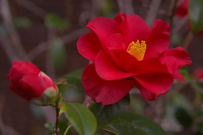 20070804_0041 Camellia