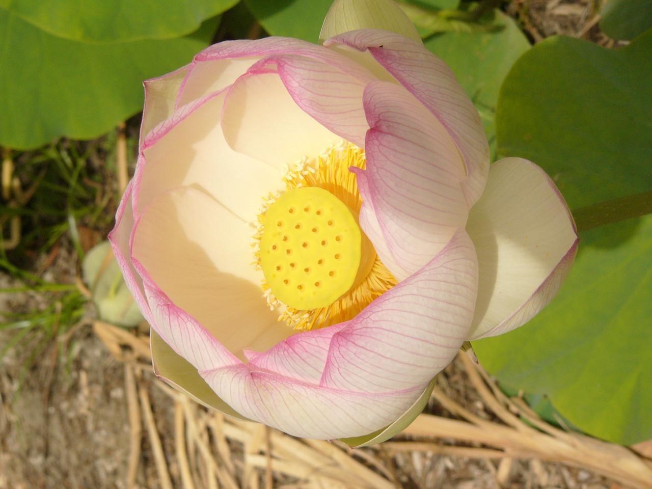 20070312_2640 Lotus