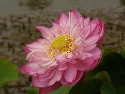 20070312_2621 Lotus