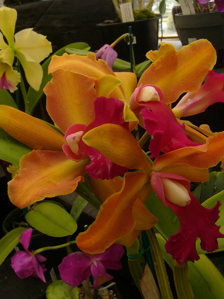 20070309_2588 Orchids