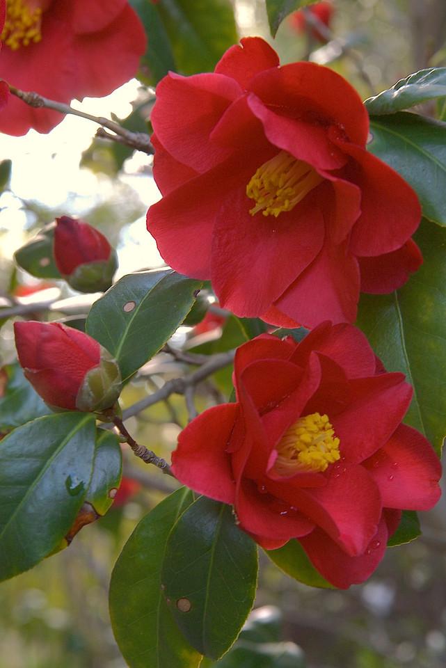 20070812_0069 Camellias