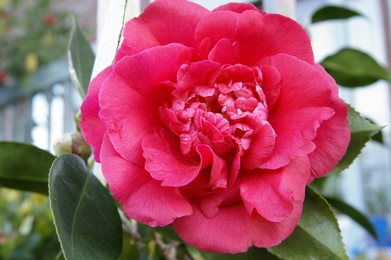 20070729_0011 Camellia