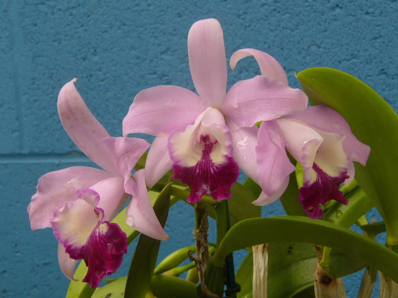 20070309_2591 Orchid