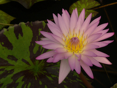 20070312_2684 June Allison Water lily