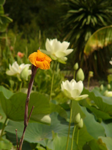 20070312_2631 Canna and lotus flowers