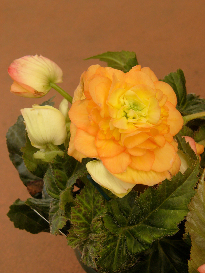 20070309_2559 Tuberous Begonia