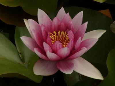 20070312_2649 Lotus