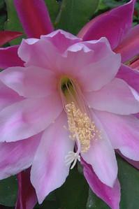 20071117_1056 epiphyllum