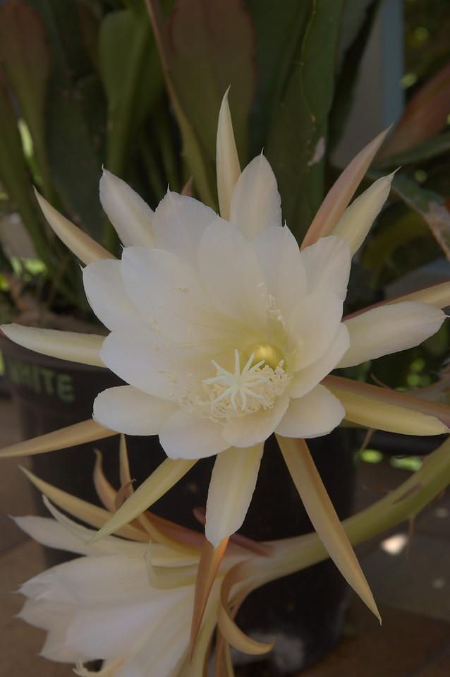 20071206_1119 epiphyllum cactus