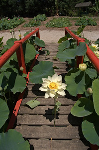 20080103_1248 Lotus at Blue Lotus Water Garden