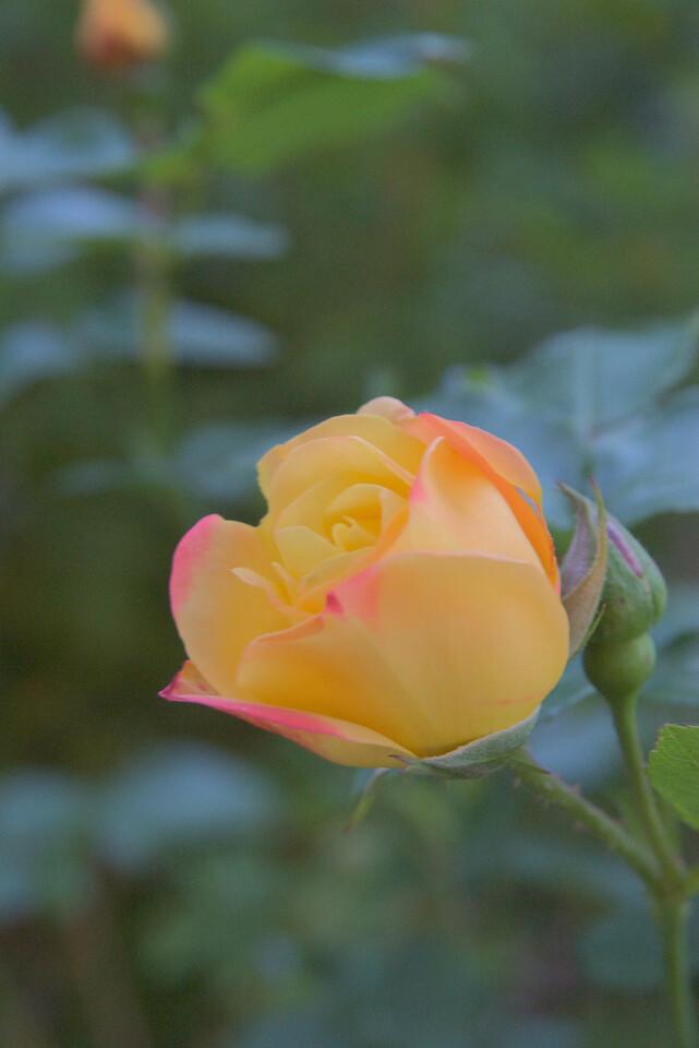 20071014_0955 rose