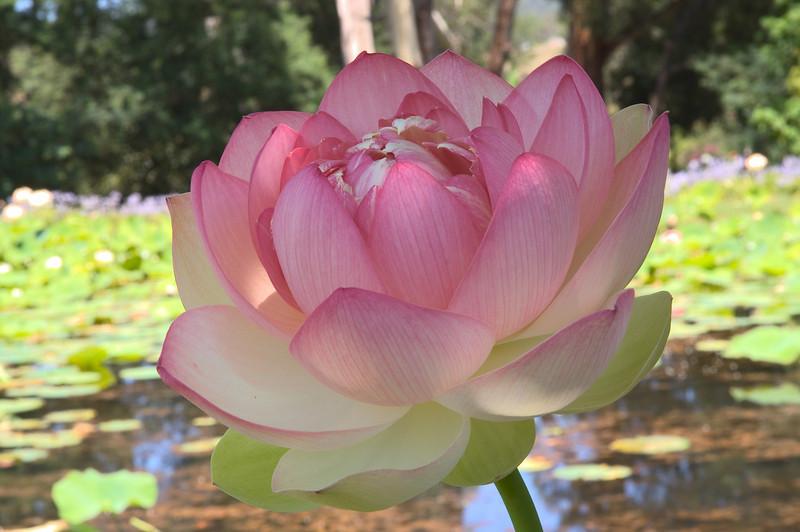 20080103_1319 Lotus