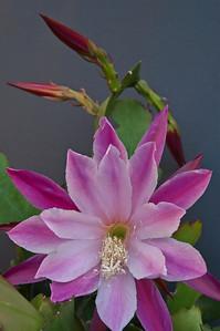 20071110_1044 epiphyllum