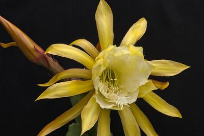 20071122_1063 epiphyllum