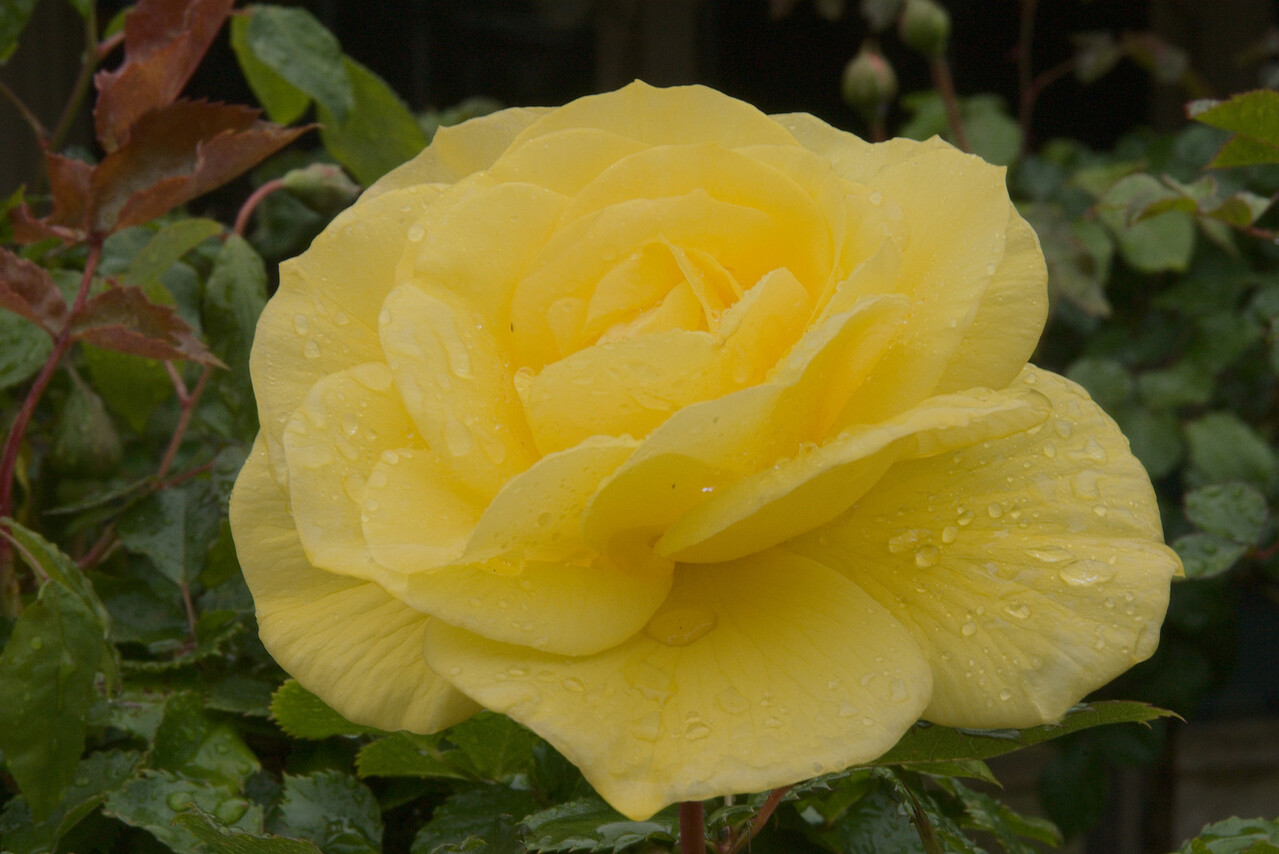 20071025_0981 Rose at Garden World.