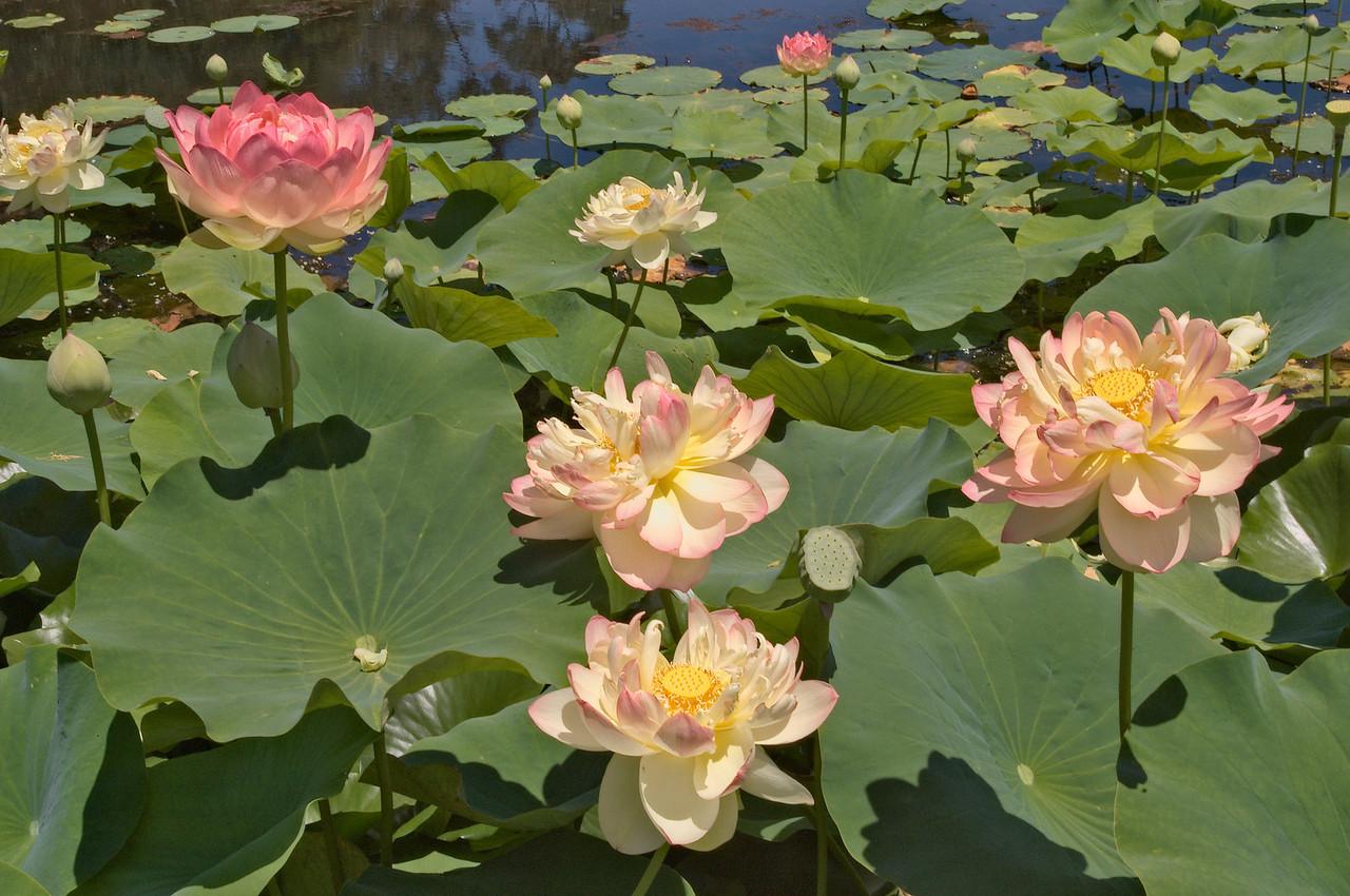 20080103_1340 lotus