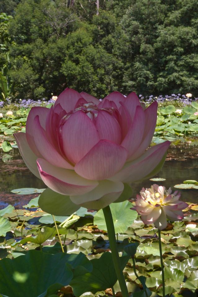 20080103_1264 Lotus
