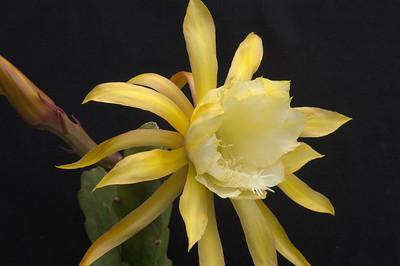 20071122_1064 epiphyllum