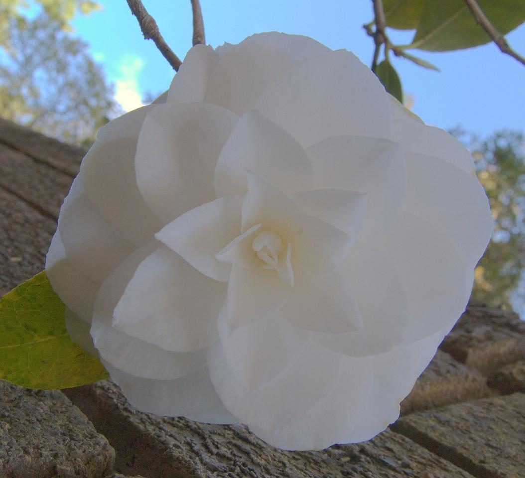 20071011_0938 Camellia