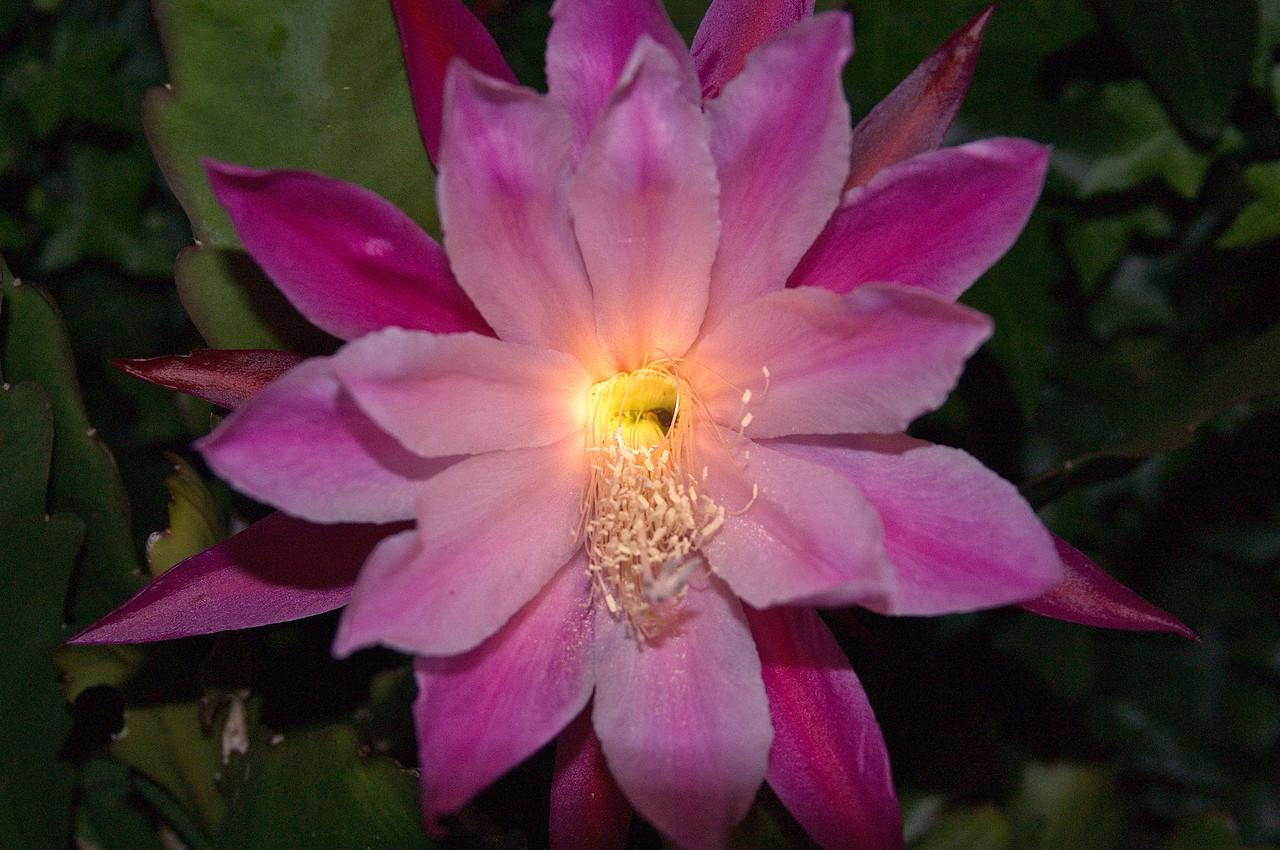 20071109_1035 epiphyllum