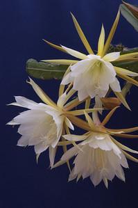 20071209_1129 epiphyllum cactus