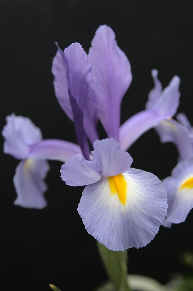 20071007_0922 Iris