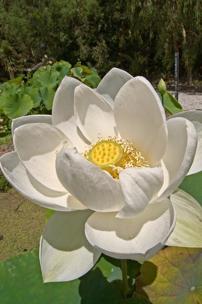 20080103_1244 Lotus