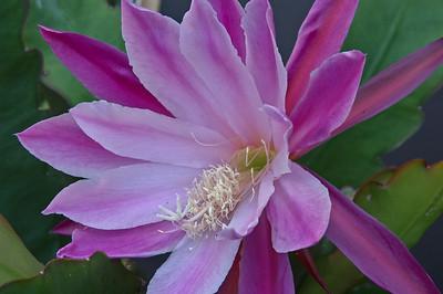20071110_1039 epiphyllum