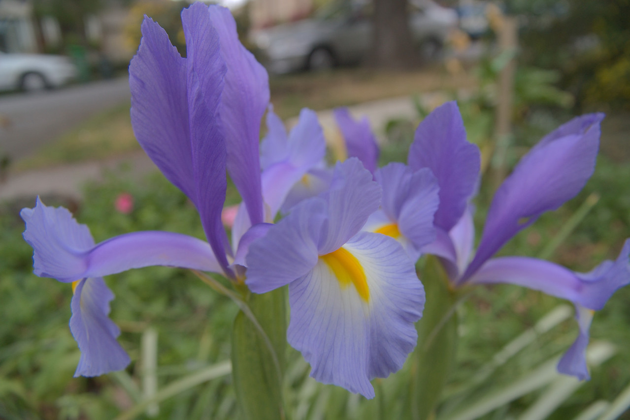20071007_0913 iris