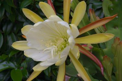 20071122_1069 epiphyllum
