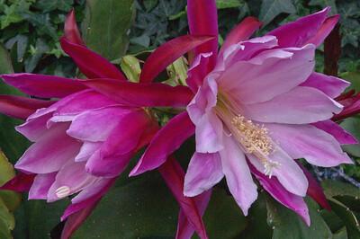 20071117_1053 epiphyllum