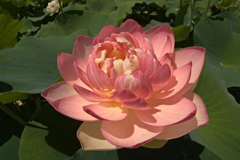 20080103_1245 Lotus at Blue Lotus Water Garden