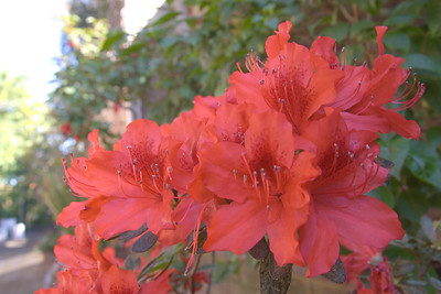 20071011_0928 rhododendron