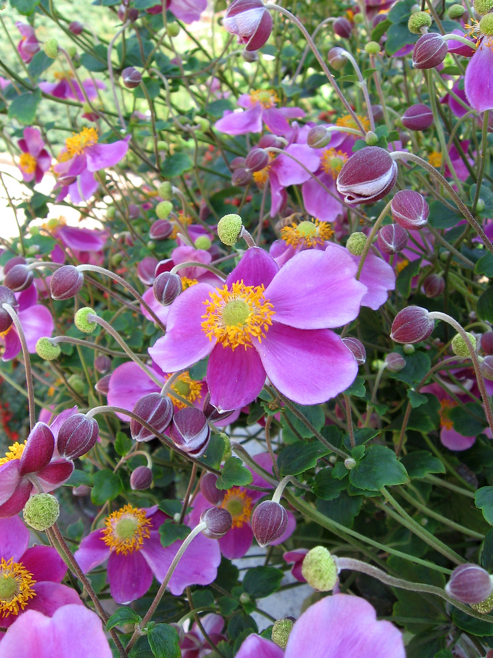 Japanese Tall Anemone
