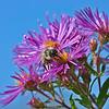 New England Aster Symphyotrichum novae-angliae (Aster novae-angliae)