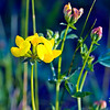 Birdfoot Trefoil Lotus corniculatus