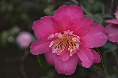 20080609_1599 camellia