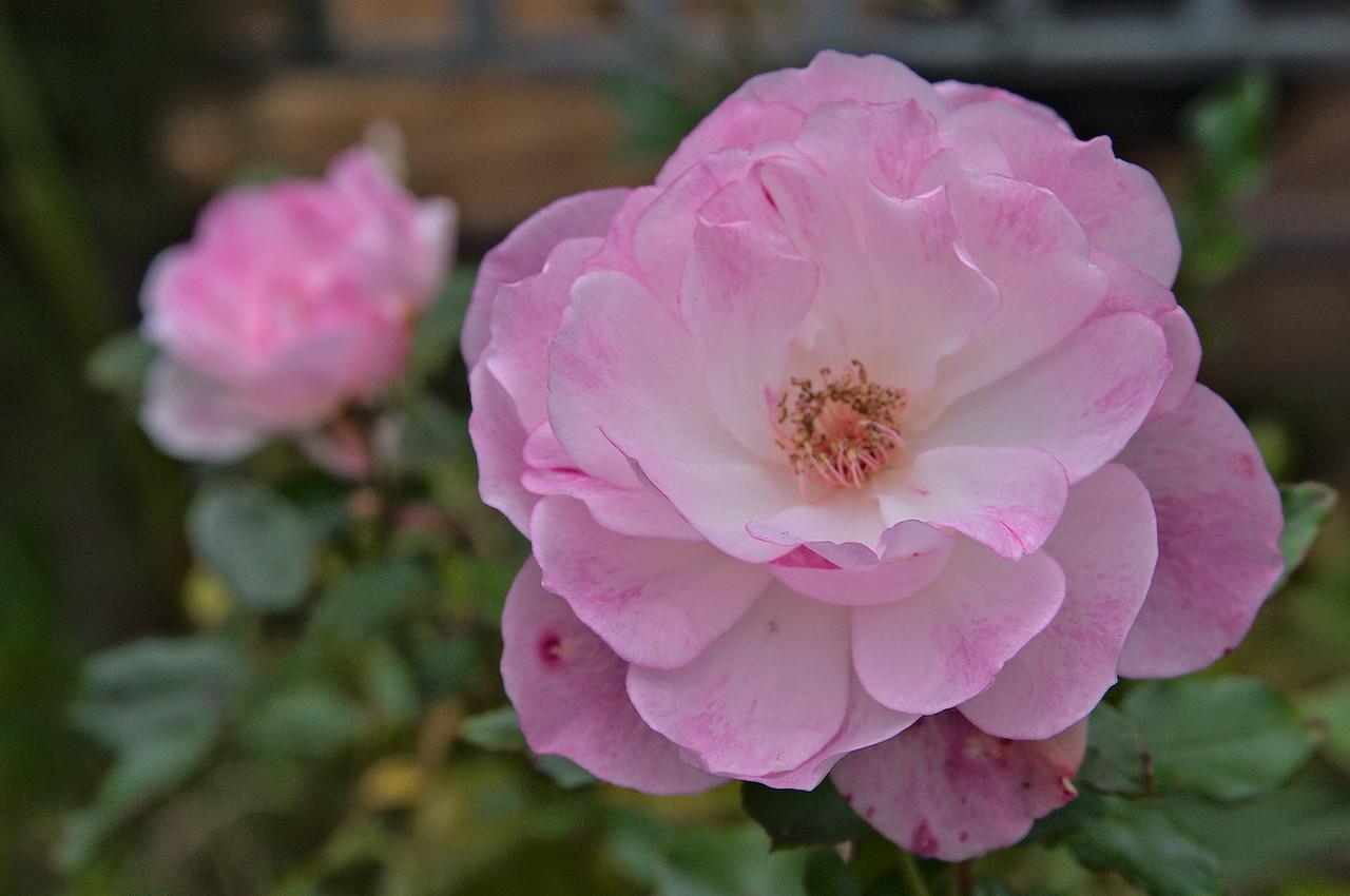 20080609_1593 camellia
