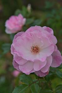 20080609_1598 camellia