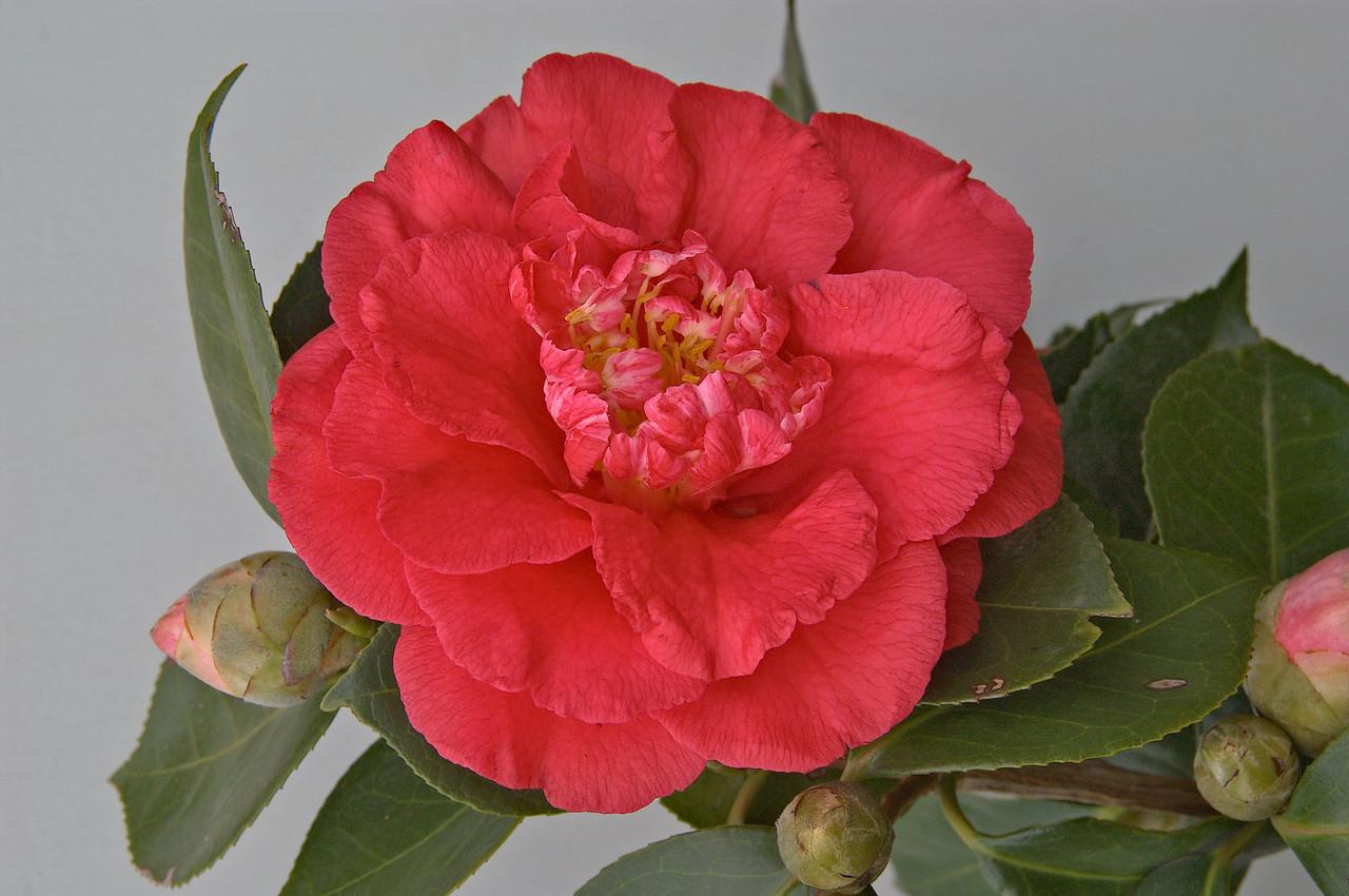 20080609_1590 camellia