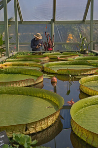 20080301_1497 Blue Lotus Water Gardens Giant Lilies