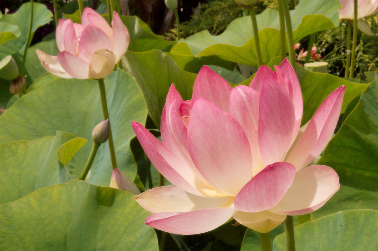 20090110_2430 lotus