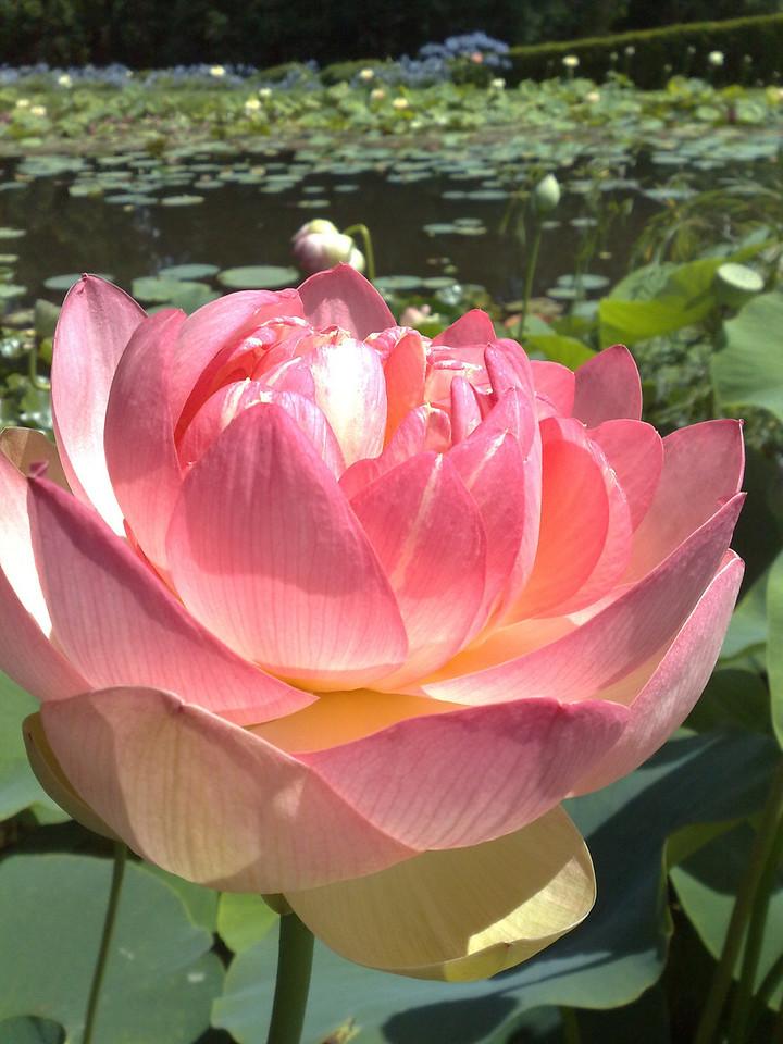 20090110_311 Lotus at the Blue Lotus Water Garden.